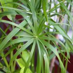 A practically indestructible houseplant, always green and it does not require attention