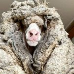 Feeling clean: More than 35kg of wool released from the Panorama community in Australia