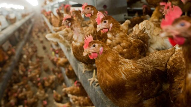 Poultry farm in Russia: avian influenza virus AH5N8 infected for the first time - knowledge