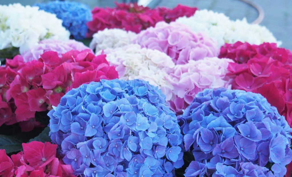 Always beautiful and colorful hydrangeas thanks to these little tricks of blooming generously