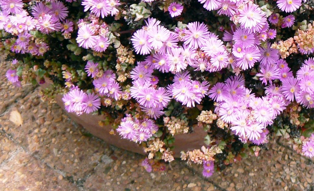 Layer of spectacular pink flowers with very hard succulents for gardens and balconies