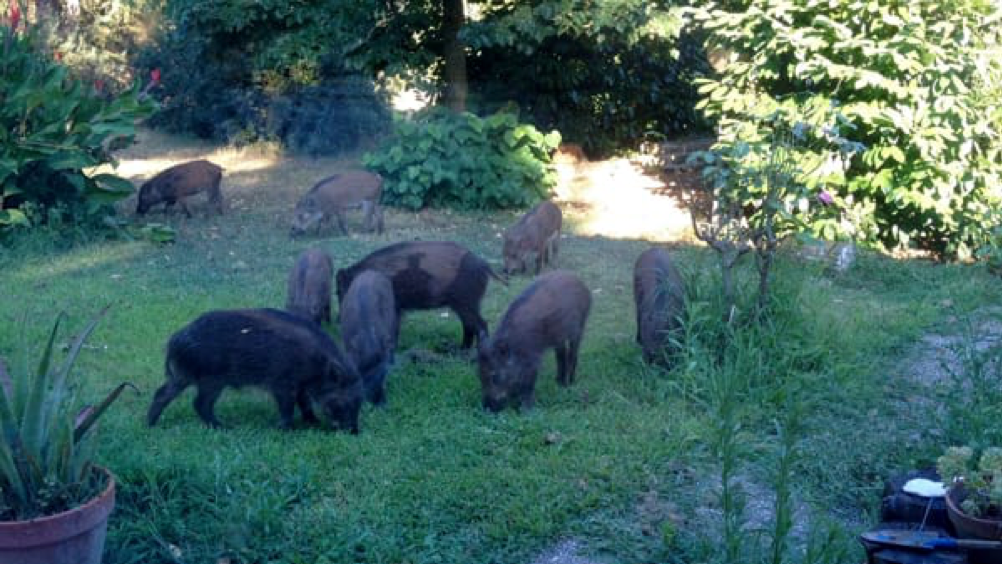 Wild boar emergency: requires more park rangers and less waste, but barrel discharge is between municipality and region