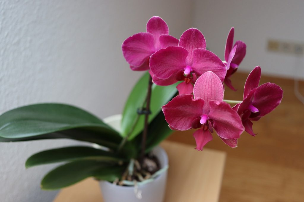 It may seem unbelievable, but by this trick the orchid will live longer and gain beauty