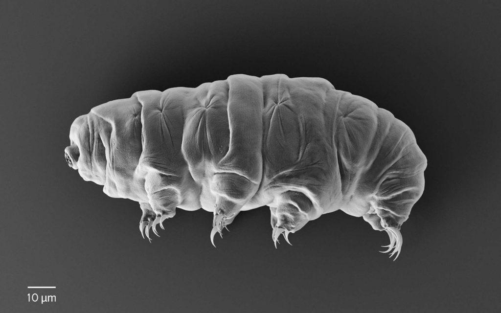 Les tardigrades à l'état fossile sont extrême rares. © rukanoga, Adobe Stock